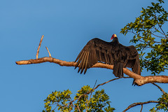 Turkey Vulture - Cathartes aura - Brazilian Amazon