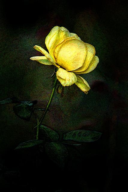 Artistic Profile of a Yellow Rose 6-0 F LR 8-11-19 J133