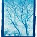 Acontius Project: 'Fraxinus in silvis pulcherrima' – 8x10 cyanotype º