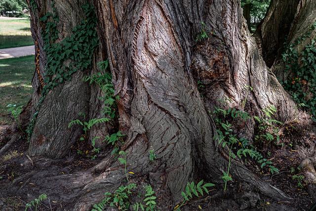 Cottbus, Branitzer Park: Tree bark pattern - Rindenmuster an einem Baum