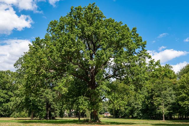Cottbus, Branitzer Park: Eiche auf der Schlosswiese - Oak on the Palace Green