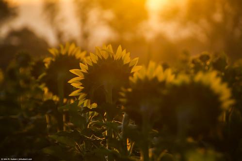 2019 virginia grouped day clear sunny sun sunrise nikond500 sunflowers botetourtcounty botetourt natureinfocusgroup commented favorited