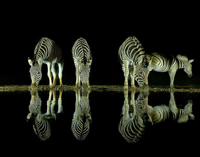 South Africa, mirror zebras