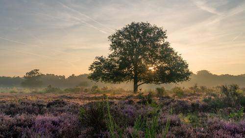 2019 holland netherlands nederland laren hilversum bussum amsterdam sunrise pink heath heather outdoor sony a7rii sonyfe2470mmf4
