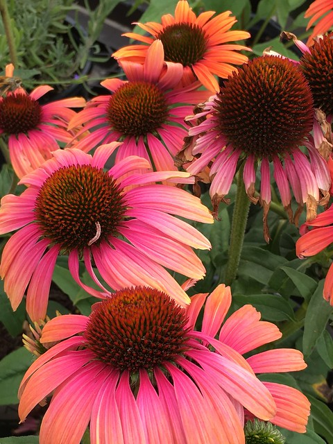 These lovely Coneflowers bring sunshine and beauty to my garden.
