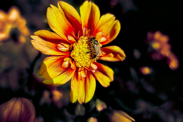 Dahlia flower with bee