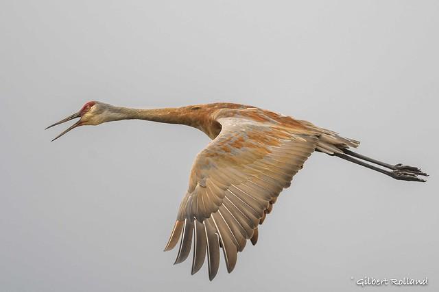 Grue du Canada - Sandhill Crane - Antigone (Grus) canadensis
