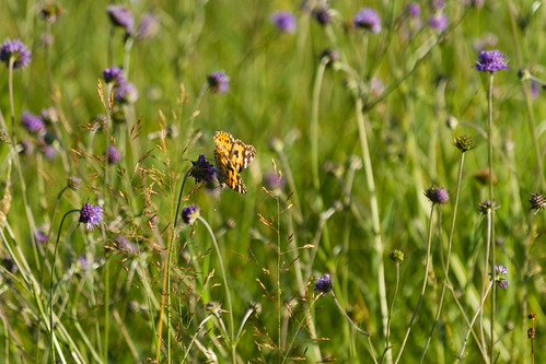 painted lady on scabious-2