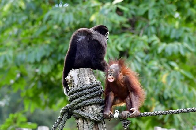 electrified Borneo Orang-Utan & Weißhandgibbon