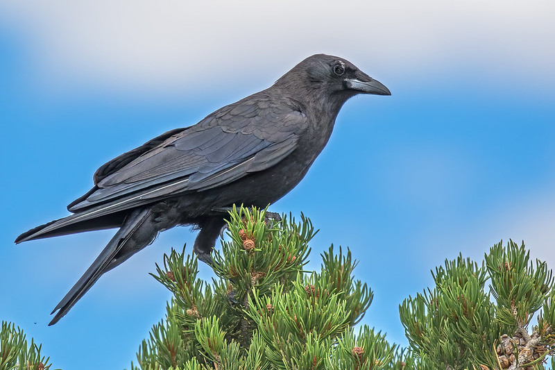 Raven-36-7D2-081419