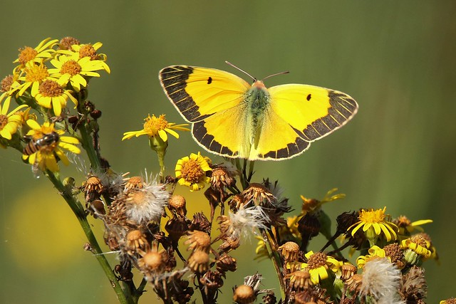 Clouded Yellow  (Colias croceus) Dungeness RSPB