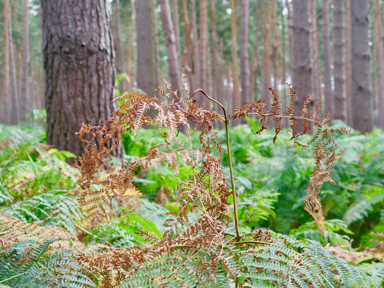Dying Ferns
