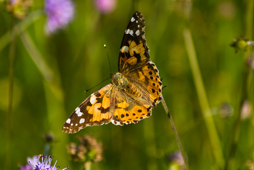 painted lady on scabious