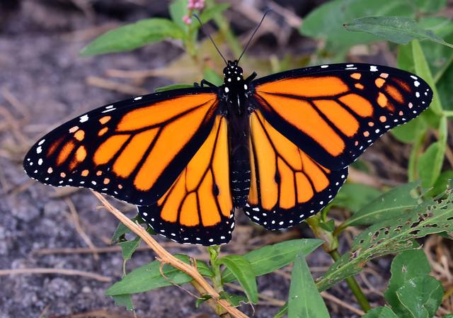811_0246.T Monarch Butterfly