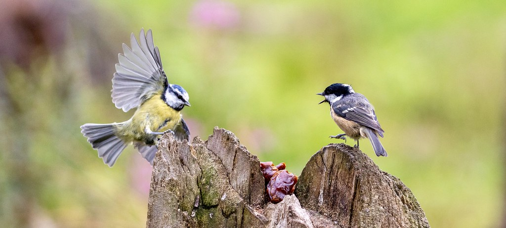 Blue Tit and a Coal Tit