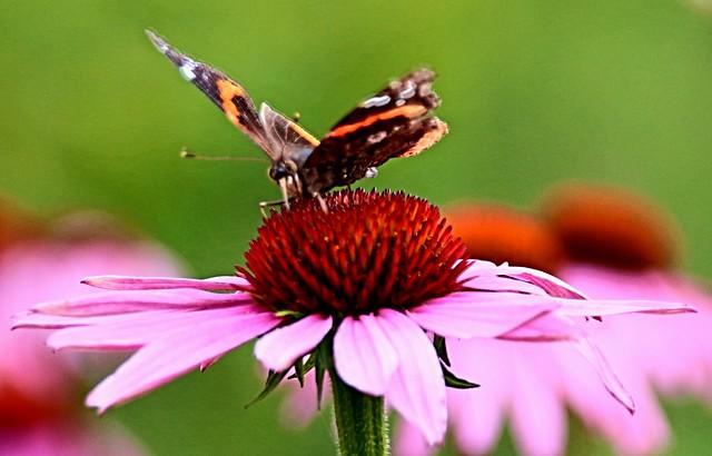Toronto Ontario ~ Canada ~ Edwards Gardens ~ Botanical Garden - Monarch  Butterfly
