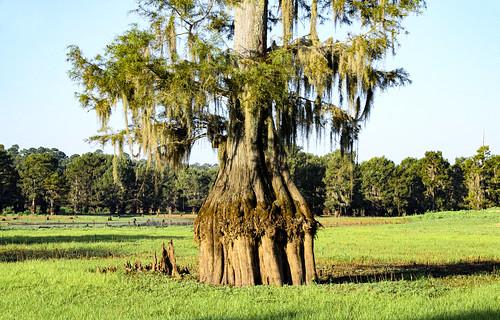 louisiana cypresstree lakebistineau tree swamp lake drylakebed sunrise northlouisiana grass nature spanishmoss