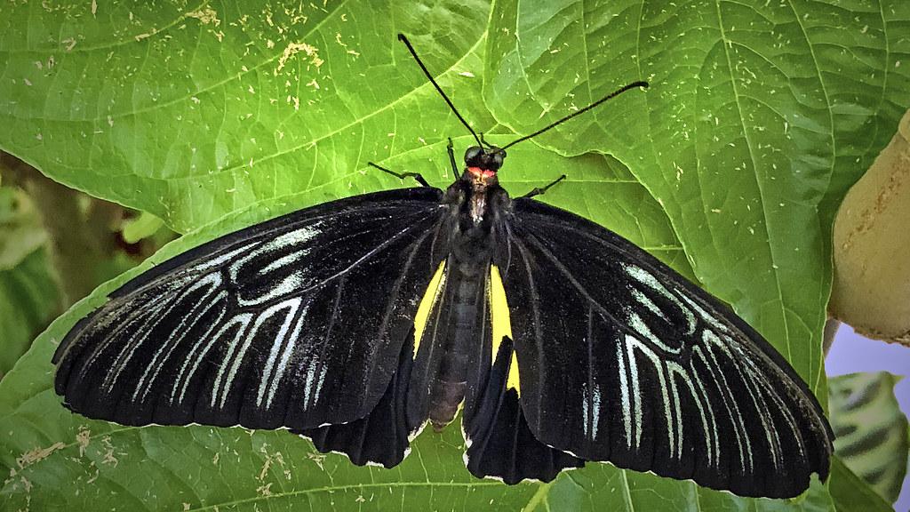 2018.06.22 FLMNH Common Birdwing - Troides helena 1