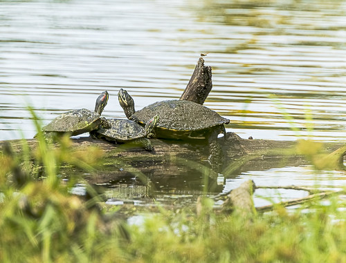 Red-eared Sliders & Yellow-bellied Slider