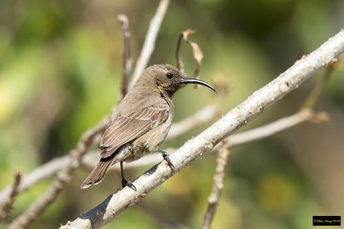 chalcomitrasenegalensisgutturalis chalcomitrasenegalensis chalcomitra senegalensis gutturalis scarletchestedsunbird scarletchested sunbird krugernationalpark kruger southafrica leastconcern female