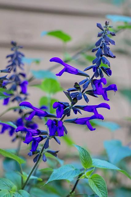 Blue Salvias