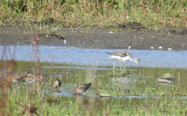 Greenshank and Snipe - Lamesley Ponds