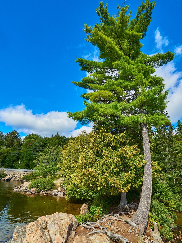 Smoke Lake Tree