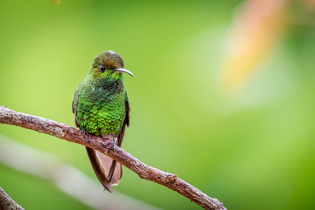 Elvira cupreiceps, Coppery-headed Emerald, Esmeralda de Coronilla Cobriza