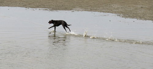 Dog running so fast he looks like he has a motor attached to his rear. At a beach in Wales.