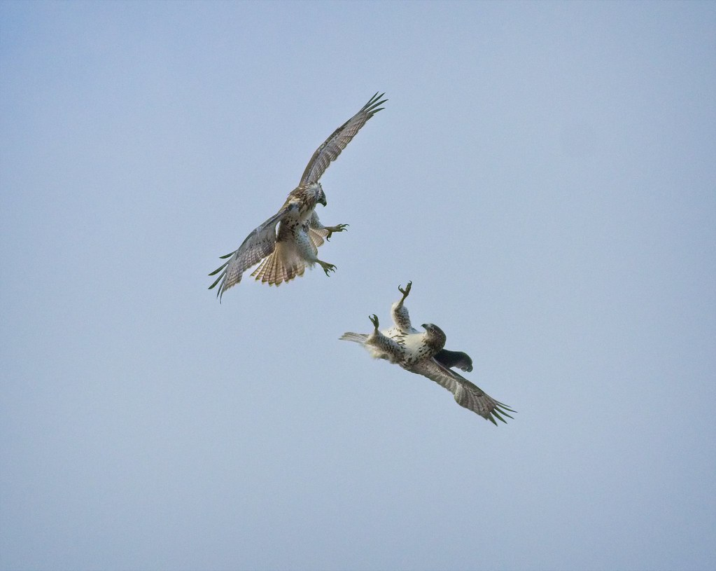 Red-tails playing around
