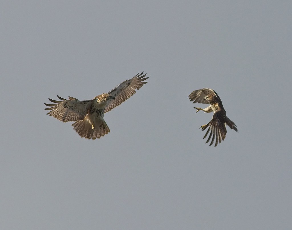 Frolicking red-tails