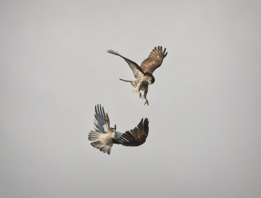 Dance of the red-tails