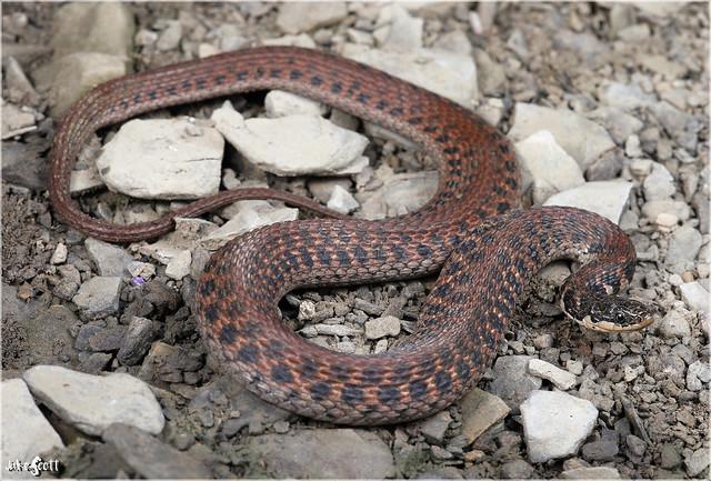 Kirtland's Snake (Clonophis kirtlandii)