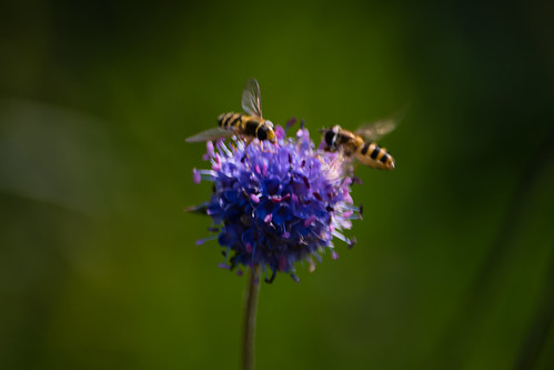 Devils bit scabious, hoverfly