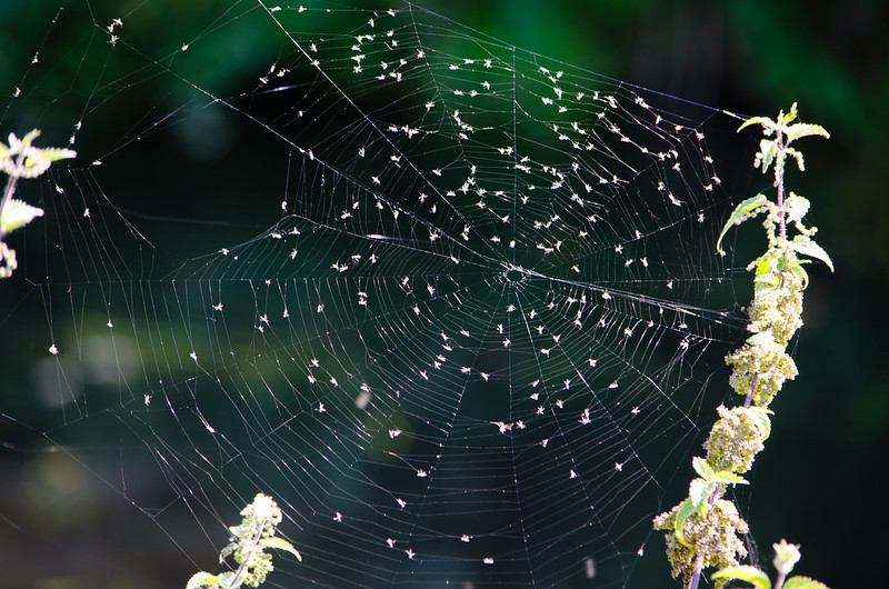Spider's web with nettle seeds