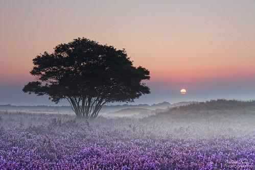 purple heather field zuiderheide hetgooi netherlands outdoor landscape tree sky sunrise nikon d7500 fog mist groundmist elitegalleryaoi bestcapturesaoi aoi tgooinaturereserve