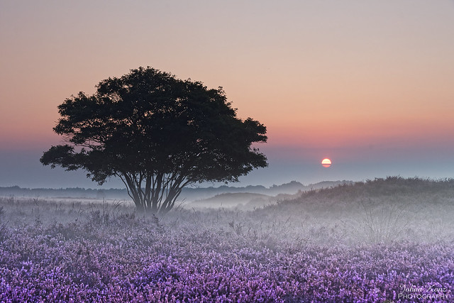 Heather Field at Sunrise
