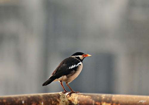 Asian pied starling , Gracupica Contra
