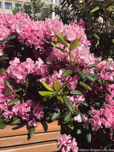 Kukkia_Joensuun_keskustassa