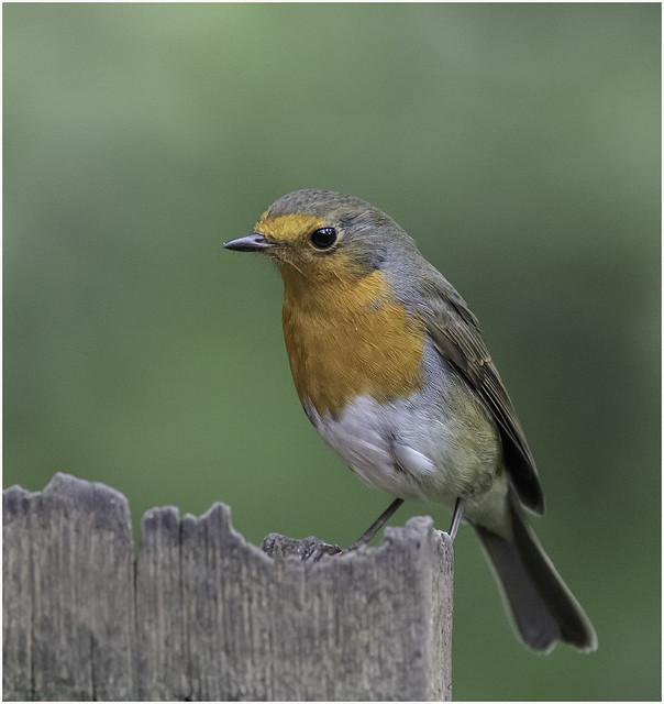 Pensive Robin