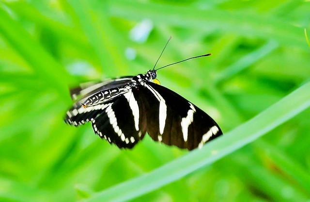 Zebra Longwing Butterfly In Flight (Heliconius charitonia)