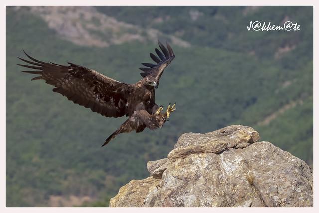 Águila Real Macho (Aquila chrysaetos)