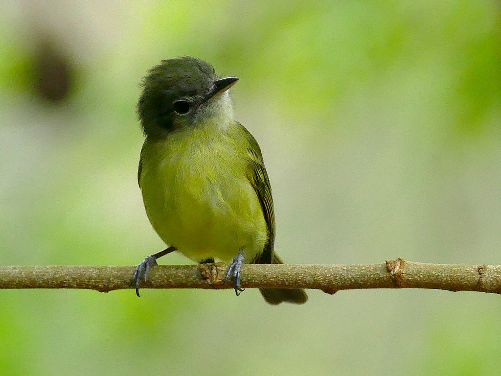Imagen de una de las aves del Quindio: Pico plano azufrado (Tolmomyias sulphurescens)