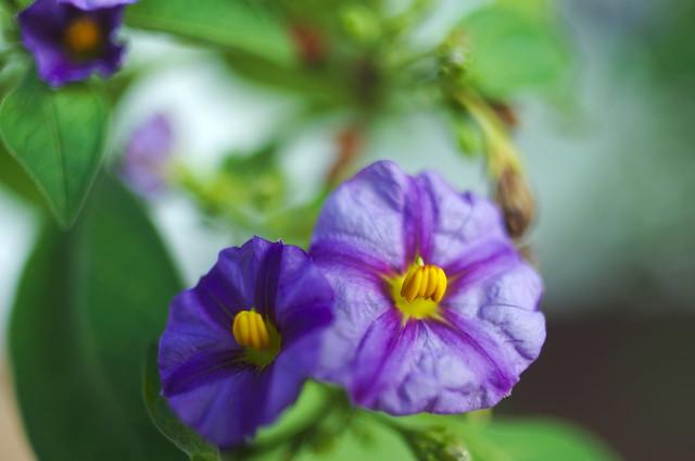 Lycianthes rantonnetii (Blue Potato Bush)