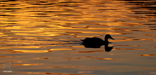 duck bird water sunrise