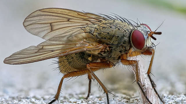 Blumenfliege (Anthomyiidae)