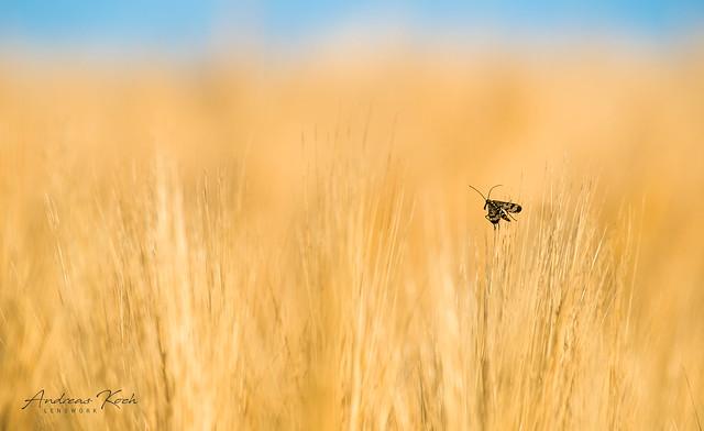 Skorpionsfliege | Scorpionfly (panorpida)