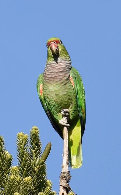 Papagaio-de-peito-roxo / Vinaceous-breasted Amazon