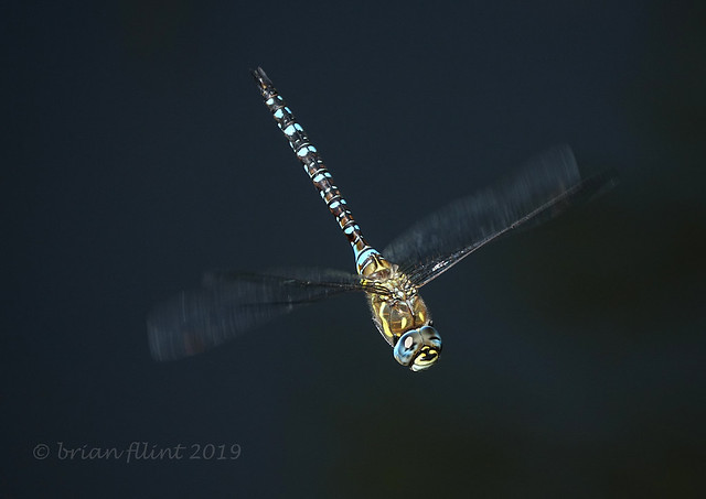 Migrant Hawker - in flight