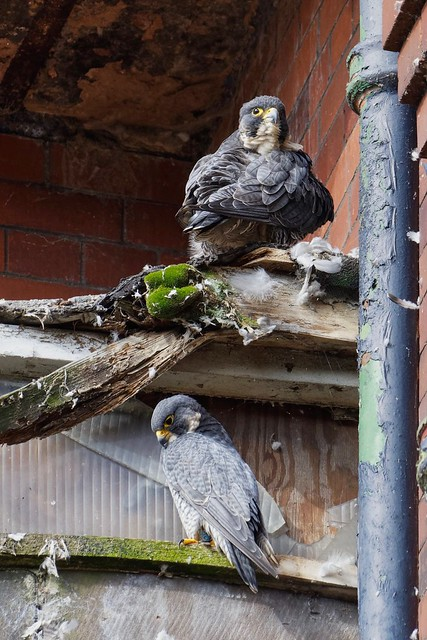 Male & Female peregrine Falcons